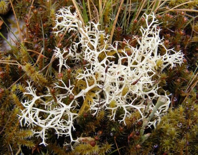 Moss coral